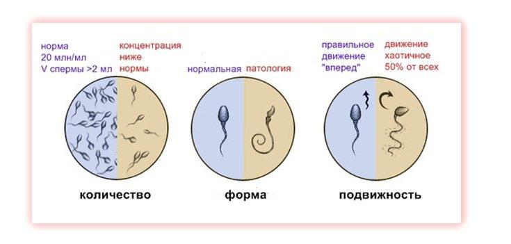 Сперматозоиды жывучесть